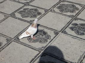 一只灰色的鸽子