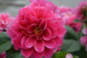 雨后的红色大丽菊