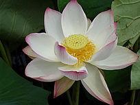 绽放粉色白荷花