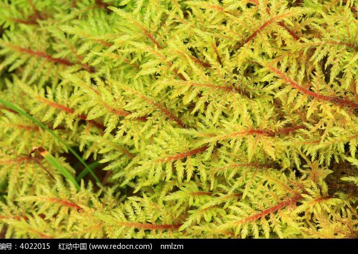 大兴安岭野生苔藓