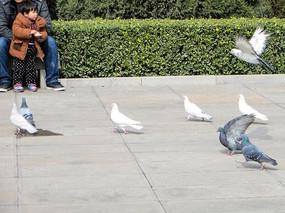 飞翔的小鸽子