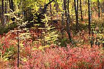 红色的灌木植被