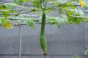 种植丝瓜横构图