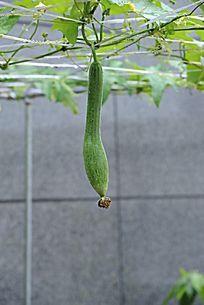 种植丝瓜竖构图