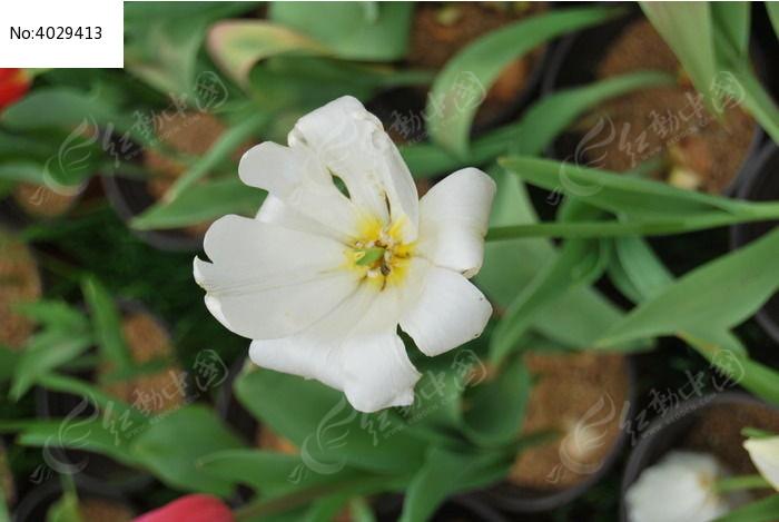 白色郁金香图片,高清大图