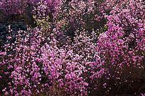 达尔滨湖畔杜鹃花开
