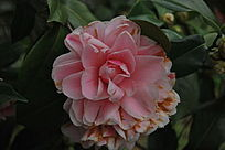 粉色山茶花
