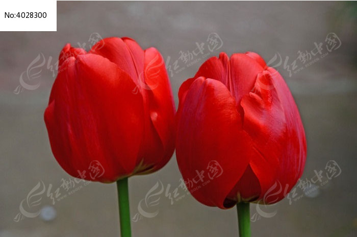 红色郁金香图片,高清大图_花卉花草素材
