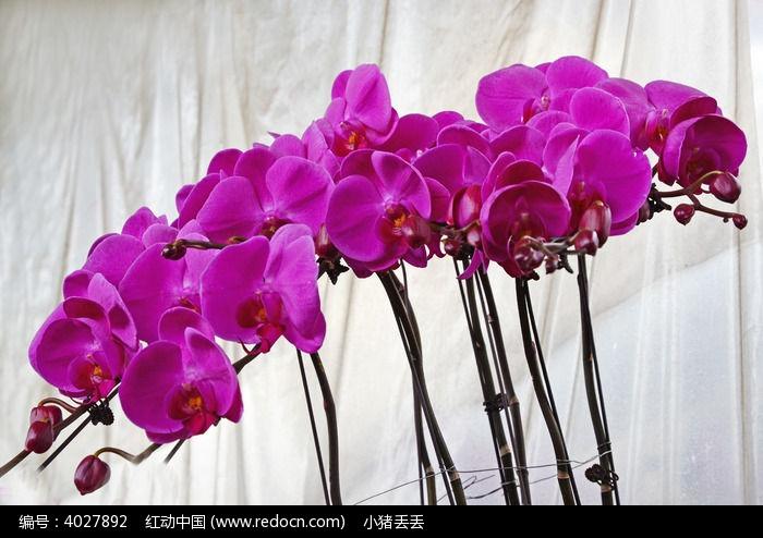 蝴蝶兰图片,高清大图_花卉花草素材