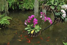 蝴蝶兰盆景