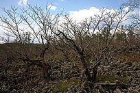 火山岩乔木黄菠萝