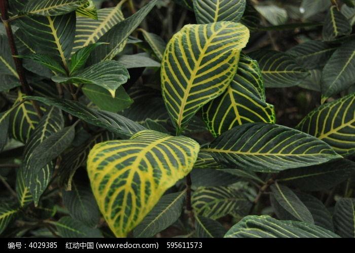 原创摄影图 动物植物 花卉花草 金边树叶