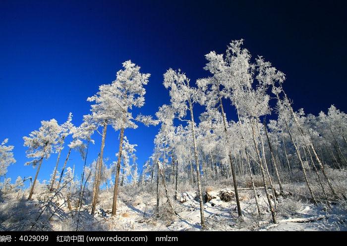 大雪压青松图片,高清大图_森林树林素材