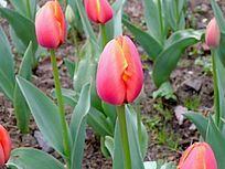 红色郁金香花苞