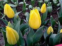 黄色郁金香花苞