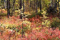 秋林中灌木植被