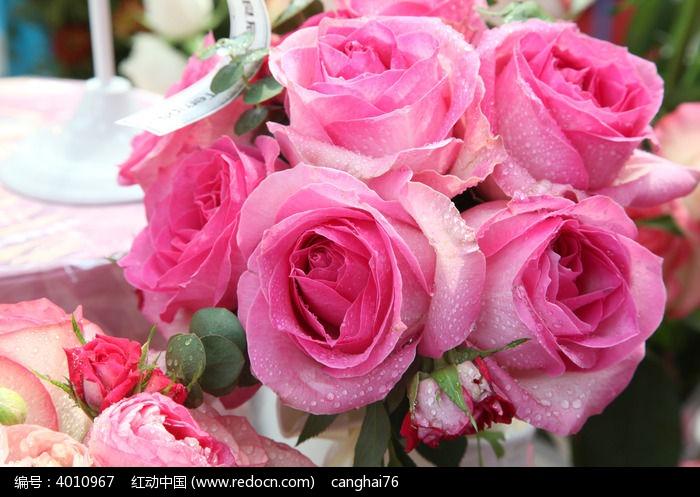 粉红色玫瑰花壁纸_鲜艳浪漫的粉红色玫瑰花