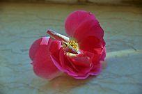 粉红色的安吉拉月季