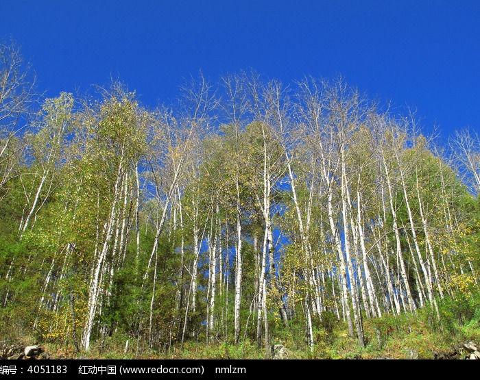 白桦林秋天风景图片