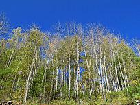 白桦林秋天风景