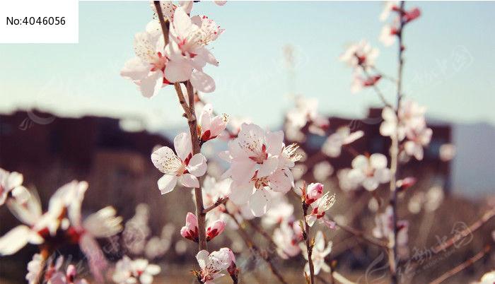 春天的杏花树