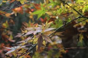 红枫树叶近景
