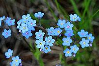 蓝色小花勿忘我