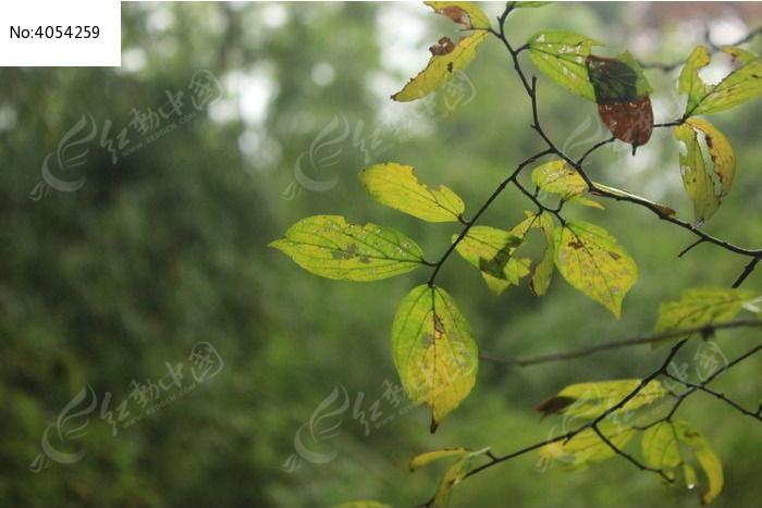秋天的槐树叶