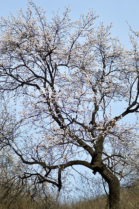 一棵盛开杏花的老树