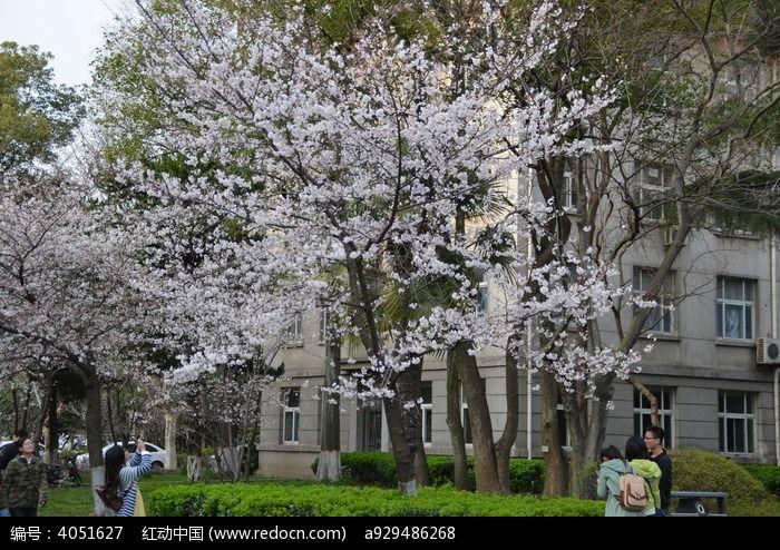 樱花树下图片,高清大图
