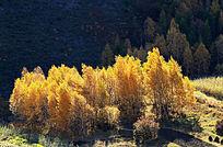 白桦树金黄叶子