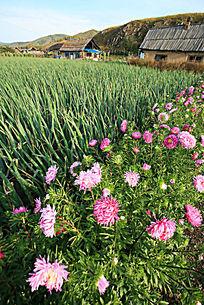边陲人家种植大葱鲜花