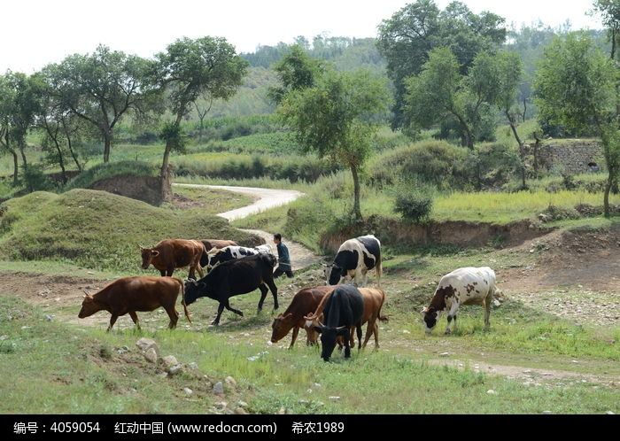 原创摄影图 动物植物 家禽家畜 放养的牛群  请您分享: 红动网提供