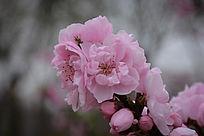 粉红的大朵桃花
