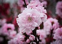 粉红色的大朵桃花