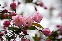 粉红色的海棠