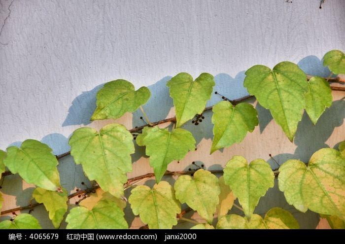 原创摄影图 动物植物 花卉花草 绿色的爬山虎  请您分享: 红动网提供