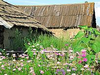 农家院落种植波斯菊