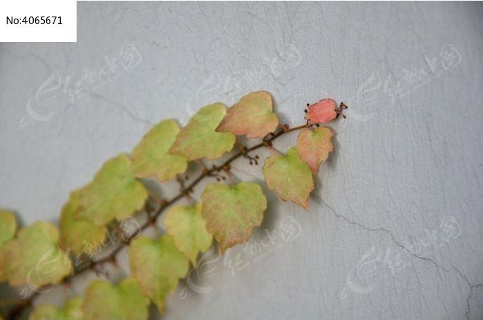原创摄影图 动物植物 花卉花草 爬山虎又名红丝草  请您分享: 红动网