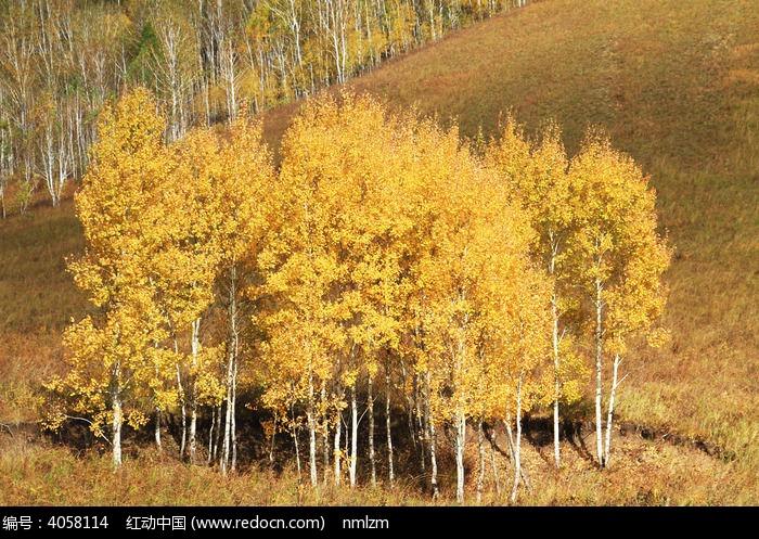 秋天的白桦林
