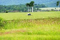 湿地飞翔的野生灰鹤
