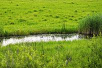 湿地水塘野生水鸟