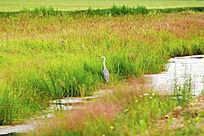 湿地野生灰鹤