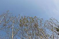 天空相间树排