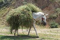 驮着杂草的白色毛驴