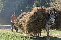 驮着杂草的驴