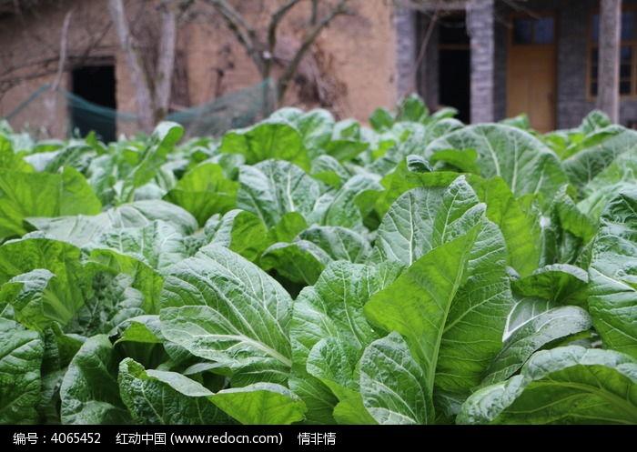 原创摄影图 动物植物 农作物 一片田菜  请您分享: 素材描述:红动网提