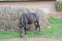 一头小毛驴