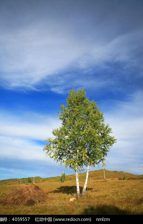 原野上一颗孤独的白桦树图片,高清大图_森林树林素材
