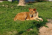 侧躺在绿色草地上的狮子